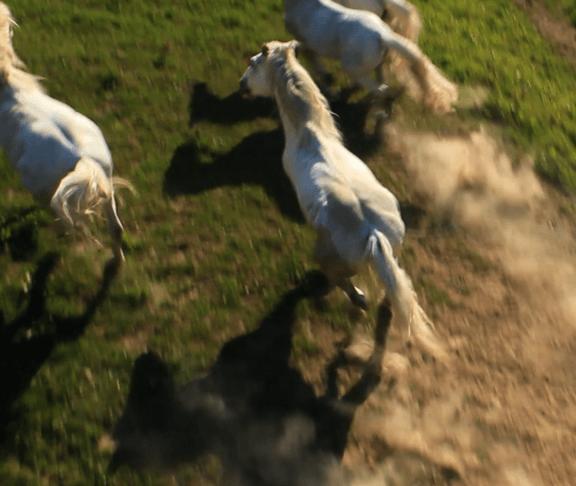 Luftaufnahme gallopierender Pferde