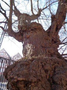 Baum in Homberg / Efze