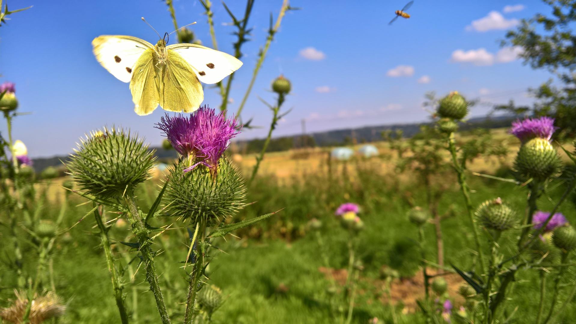 Bienen und Schmetterlinge an Distel Foto: gruenfreund.de